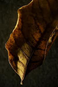 Bradford pear leaf, photographed November 25, 2013.