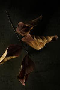 Crape myrtle leaves, photographed November 25, 2013.