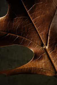 Oak leaf, photographed November 25, 2013.