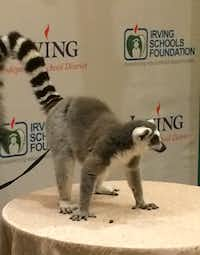 A lemur from Animal Edutainment greets guests at the Irving Schools Foundation's Legacy Gala at the Four Seasons in Irving.( Alan Fleck )
