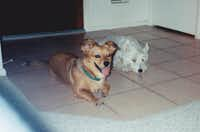 In 1999, cooling off on the tile with Casper. Maggie and Casper were wild and crazy back then. They would run in and out through the doggy door and then lie down on the tile and pant.