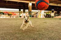 """Iago, the cutest dog in the world, at Deep Ellum Dog Park,"" said Stephanie Marchant.(Stephanie Marchant)"