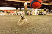 """Iago, the cutest dog in the world, at Deep Ellum Dog Park,"" said Stephanie Marchant.(Stephanie Marchant)"