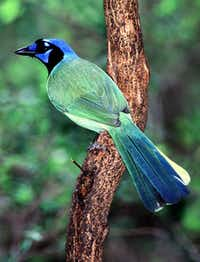The green jay, a neotropical species, is  the official bird of McAllen.