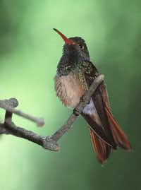 Bird-watchers come to the region to see feathered friends such as the buff-belly hummingbird.