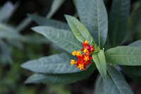 A milkweed plant provides the right surroundings for monarch butterflies to lay their eggs. Local gardeners are urged to plant a patch of milkweed to boost the monarch population.