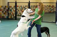 The hotel has an employee interacting with the dogs at all times in the indoor play areas.(Courtesy of Pooch Hotel)