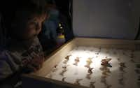 Paul Goodchild, 4, gets a up close look at different species of moths on display at Texas Discovery Gardens during a Nocturnal moth watching gathering in Dallas, Tuesday, July 24, 2013.
