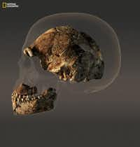 The braincase of a composite male skull of H. naledi, a new human relative announced Thursday. (Art: Stefan Fichtel. Sources: Lee Berger and Peter Schmid, Wits; John Hawks, University of Wisconsin-Madison/National Geographic)