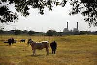 "Cattle graze in a field adjacent to the Big Brown plant in Fairfield. A petition a few years ago for an air quality monitor generated little support in Fairfield. ""I think some people are afraid to speak up,"" one petitioner says."