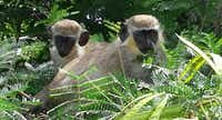 Black-faced monkeys surround the verdant jungles that line the golf course of the Four Seasons, Nevis.