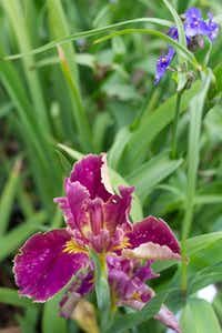 "A ""James Faith"" iris blooms in Mason's garden.(Cooper  Neill - Staff photographer)"