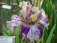 Novelty iris 'Fine Mess'. Introduced in 2008.Bonnie Nichols