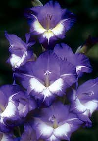 'Bluebird' gladiolus is surprisingly close to blue. It only grows to 3 feet, but it is a vigorous plant.
