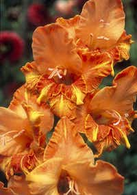 'Firedance' gladiolus is a tiny, ruffled beauty introduced in 1954.