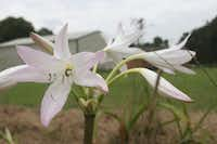 Just dug out of East Texas' sandy soil, 'Summer Nocturne' crinum clumps are $15 each.