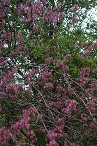 Mexican buckeye is a native ornamental tree to plant under larger spreading trees.