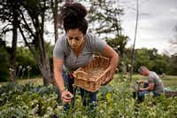 Hyat El-Jundi,  an intern with Farmers Assisting Returning Military, pulls flowers off crops at the 15-acre farm in DeSoto.(G.J. McCarthy - Staff Photographer)