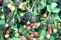 Blackberries go from green to red to black before ready for picking. They grow easily in this area, but the bushes are not particularly attractive landscaping plants.