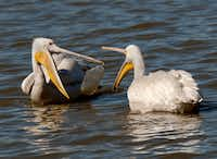 A pair of pelicans played catch with a water bottle at White Rock Lake. Photographer J R Compton says he started out with grackles and pigeons because they are easy to focus on.