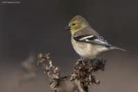 Darlene Moore, who photographed this American goldfinch, takes many bird photos and contributes to nctexasbirds.com.