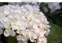 Endless Summer 'Blushing Bride' hydrangea forms bouffant white flowers with a tinge of pink.(Bailey Nurseries)