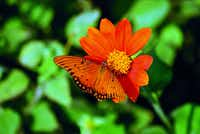 Gulf Fritillary females lay eggs on passion vines. The butterflies are very fond of Mexican sunflower, or tithonia. The author says butterflies seem to prefer orange-flowered varieties to yellow.