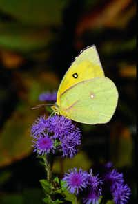 "Southern Dogface (Zerene cesonia) from ""Butterfly Gardening for Texas,"" by Geyata Ajilvsgi."