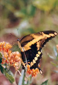The Giant Swallowtail is enticed to the garden by butterfly bush, abelia and lantana, but it also partakes of the fluids of mud and fruit juices.