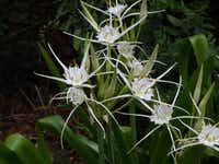 Traub's spider lily (Hymenocallis traubii) is one of Logan Calhoun's discoveries shared with other plantsmen.(Tim Alderton - JC Raulston Arboretum at NC State University)
