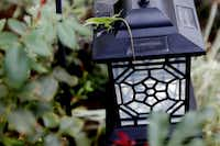 A lizard climbs on a lantern in Christy Hodges' traditional English garden pictured on September 13, 2013 at her home in Coppell. The garden was inspired by a magazine subscription insert and includes native Texas plants.
