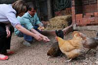 Lisa Domiteaux and her husband Mark feed their flock of chickens which they house in their backyard in Dallas, Monday, April 30, 2012.Steve Pfost / The Dallas Morning News