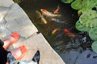 Fish swim inside the pond with waterlilies on the property of Lisa and Mark Domiteaux in Dallas, Monday, April 30, 2012.Steve Pfost / The Dallas Morning News