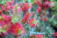 Red bottlebrush grows in the backyard of Mark and Lisa Domiteaux at their home in Dallas.Steve Pfost