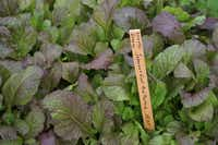 The more sunshine 'Japanese Giant Red' mustard greens receives, the spicier it gets. Sow the seeds now.( Baker Creek Heirloom Seeds )
