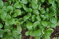 Sow tatsoi seeds now for a healthy harvest of greens.( Baker Creek Heirloom Seeds )