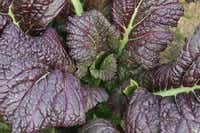 The heat can affect plants in odd ways. High temperatures bring out a spicy flavor in Japanese red mustard.(Baker Creek Heirloom Seeds)
