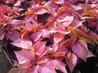 White poinsettias have been sprayed non-Christmasy colors for a hipster holiday. At Home Depots stores in the Southwest U.S. $11.98 for a 6-inch pot.