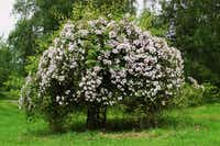 'Paul's Himalayan Musk' has smothered a tree on Belovich's property. This rambler, she says, should be paired instead with a tree 50 feet tall.Anne Belovich
