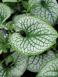 Heat-tolerant Brunnera 'Sea Heart' is appreciated for white leaves that light up shaded areas. Brunnera 'Sea Heart' is an improved variety in that its humidity tolerance is improved. It is appreciated for its gleaming white leaves that light up shady and part shady gardens. Perennial. Heat tolerant.(Skagit Gardens)
