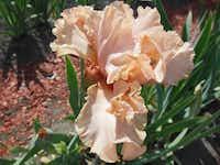 'I Wuv Roses'(Photos by Bonnie Nichols<219,4,200>)