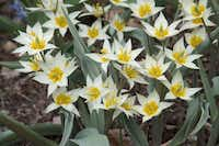 Tulipa turkestanica is a multi-flowering tulip that produces four to eight small white flowers per stem. This golden-eyed wildflower is particularly appealing in mass plantings where its sweet fragrance can be enjoyed. 8 inches tall, blooms early to mid-spring. Native to Turkestan.Colorblends.com<219,4,200>