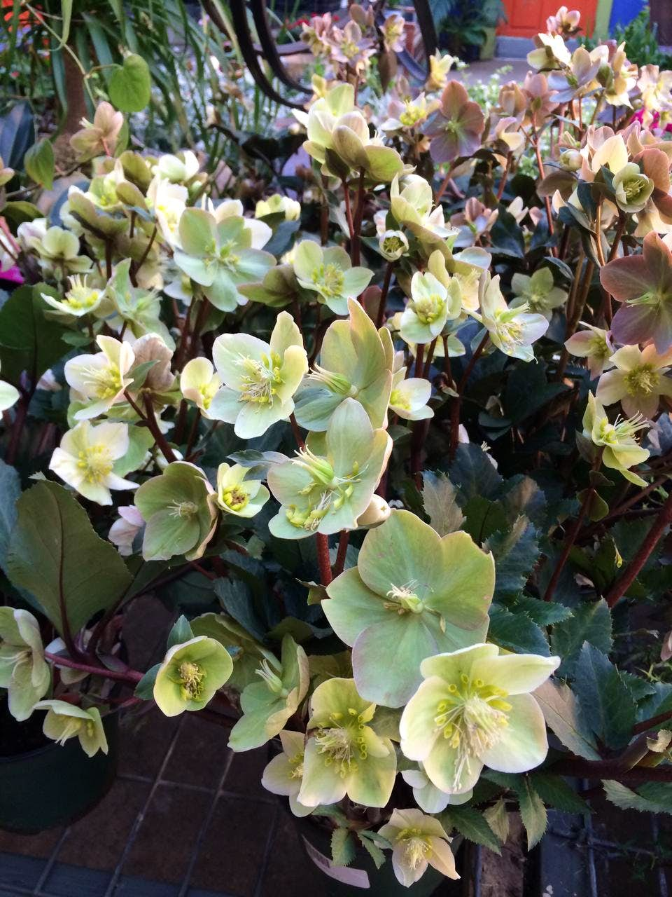 Hellebores Thrive In The Crucible That Is My Garden