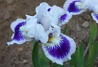 'Riveting', a standard dwarf bearded iris( Bonnie J. Nichols )