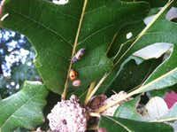 The burr oak's deformed leaves are the result of aphid damage, but the lady bugs are trying to get that under control. No pest control is necessary. Control is taking place naturally.