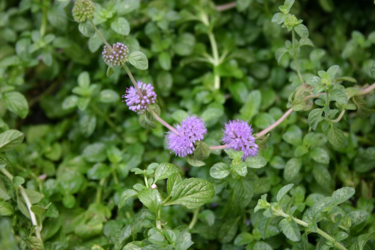 The herb pennyroyal can be used as a groundcover in garden beds