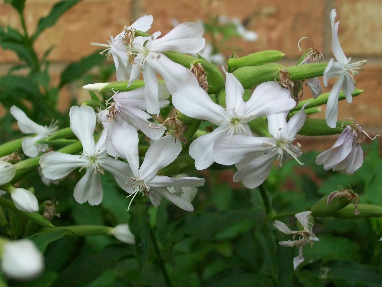 Soapwort also called bouncing Bet has white to pink flowers. If you cut back spent flower clusters the vigorous plant will bloom again and again until the first freeze