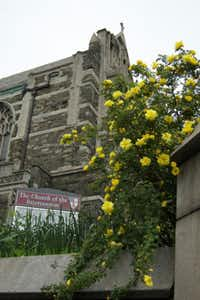"""This may or may not be the rose that inspired the song """"The Yellow Rose of Texas."""" It is one of the first yellow roses bred in the United States, by New Yorker George Folliott Harison in the 1830s. Harison is buried in Trinity Cemetery in Harlem."""