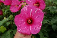 Each flower of 'Robert Brown' hibiscus has a different pattern of white stripes.( Dariusz Malinowski  - Texas AgriLife Research)