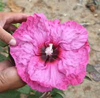 The hibiscus team aims for flowers at least 12 inches in diameter.( Kay Ledbetter  -  Texas AgriLife Research )